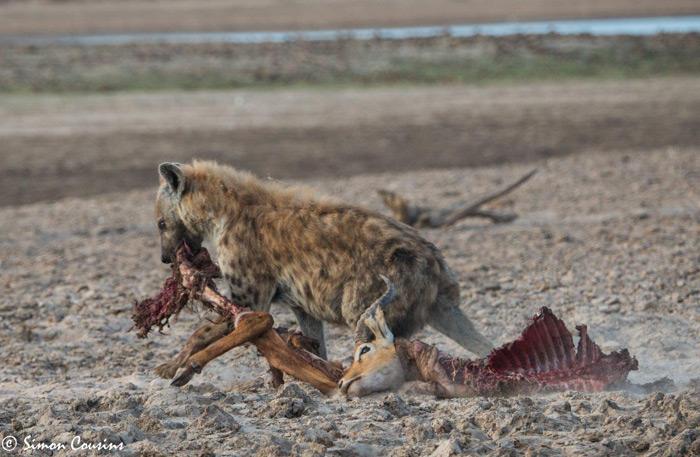 hyena-takes-kill