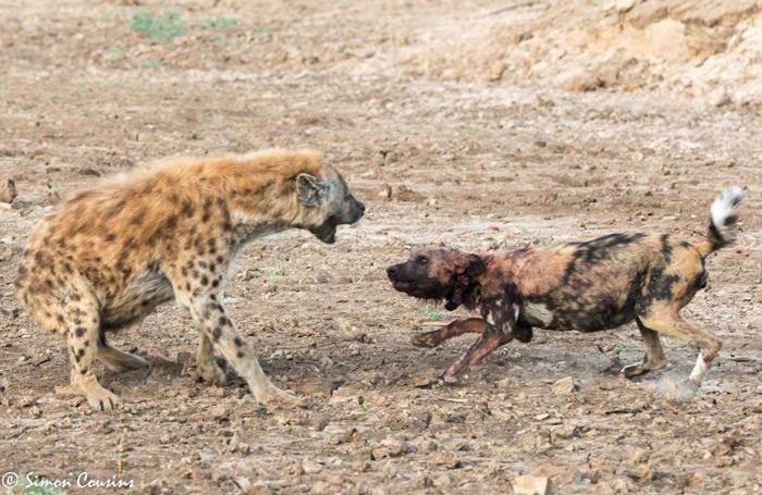 hyena-wild-dog-face-off