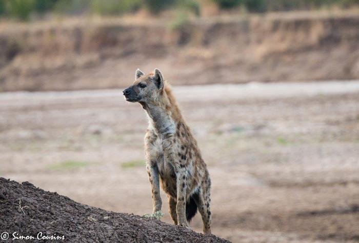 hyena-south-luangwa