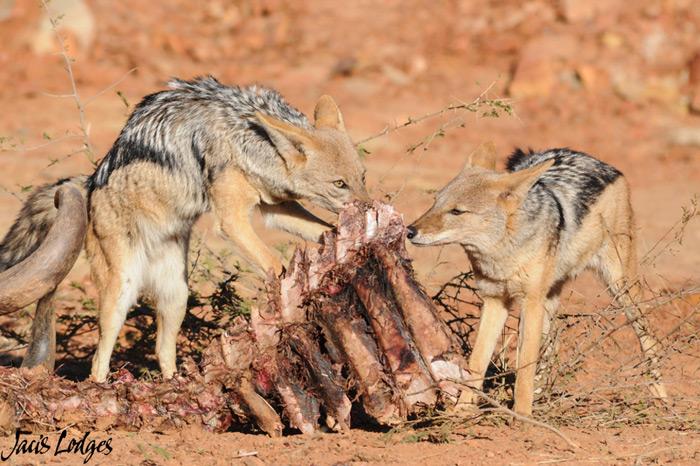 jackals-carcass-madikwe