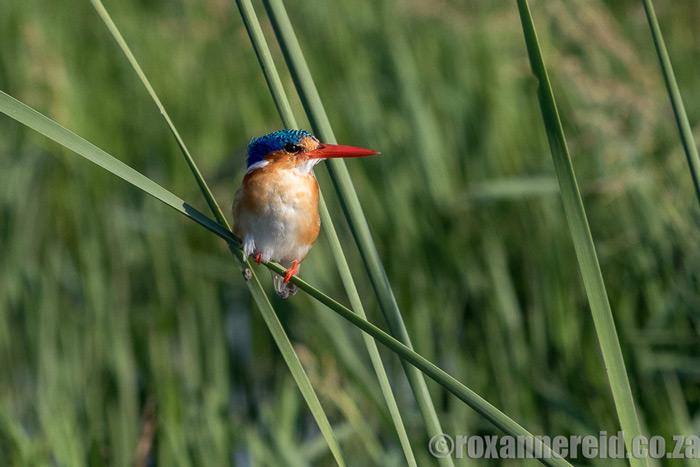 kingfisher-okavango-roxanne-reid