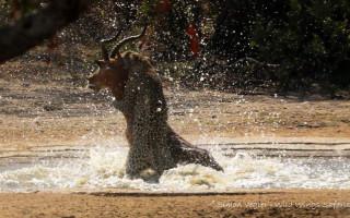 leopard-impala-kill