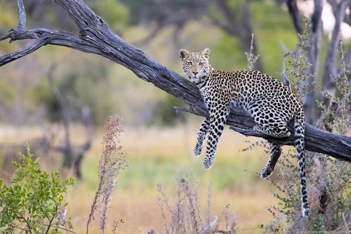 leopard-in-tree-botswana