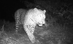 leopard-on-camera-trap