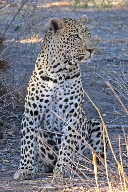 leopard-sabi-sand