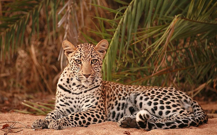 leopard-on-safari