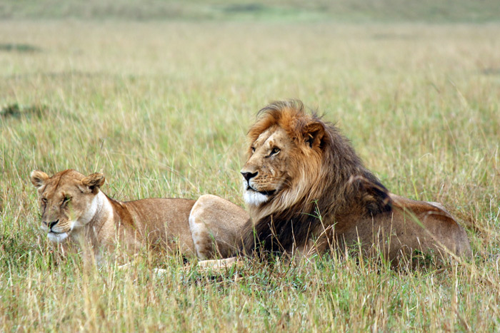 lion-and-lioness