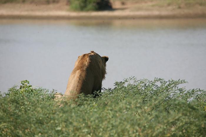 lion at luangwa river