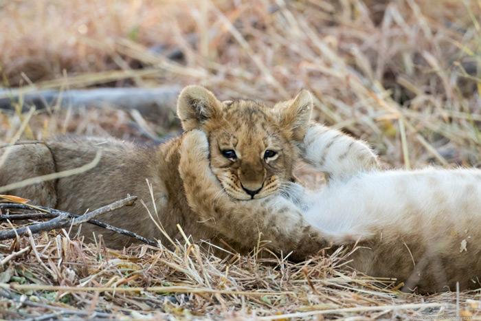 lion-cub-botswana
