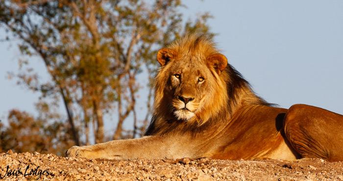 lion-madikwe