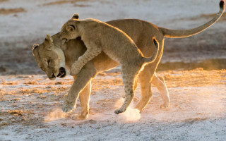 lioness-and-cub-botswana