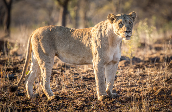 I Am Lioness Hear Me Roar Africa Geographic