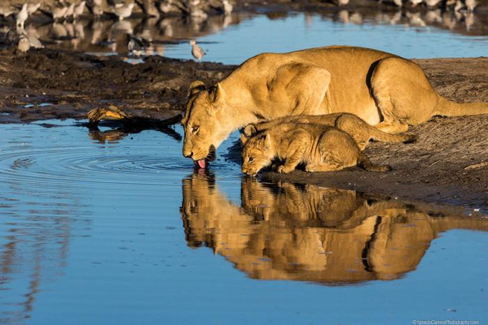 lions-drinking-botswana