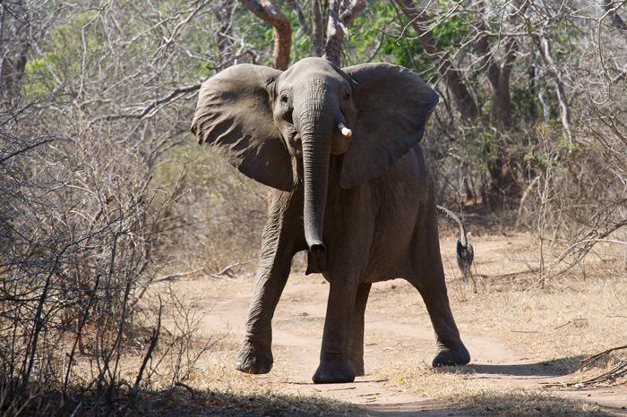 majete-elephant