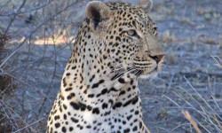 male-leopard-sabi-sand