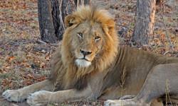 male-lion-sabi-sand-arathusa