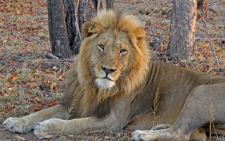 male-lion-sabi-sand-arathusa