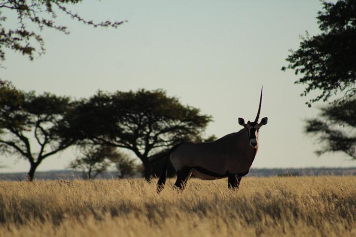 one-horned-gemsbok-benfontein-nature-reserve