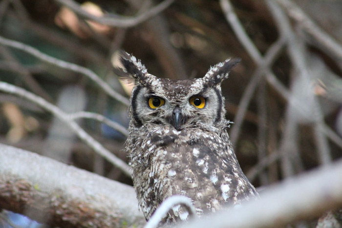A spotted-eagle owl in Tokai Park