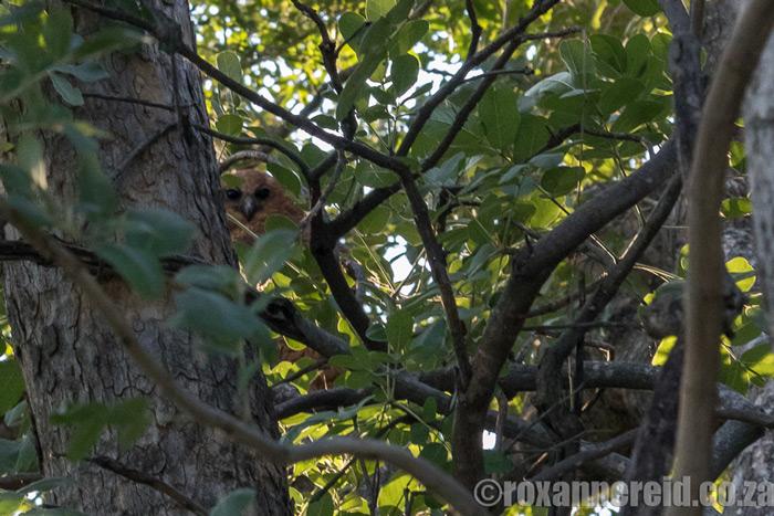 pels-fishing-owl-roxanne-reid