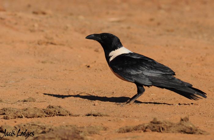 pied-crow-madikwe