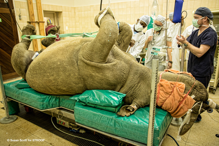 A rhino being prepared for surgery ©Susan Scott for STROOP