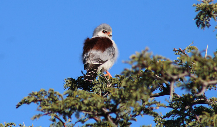 pygmy-falcon-benfontein-nature-reserve