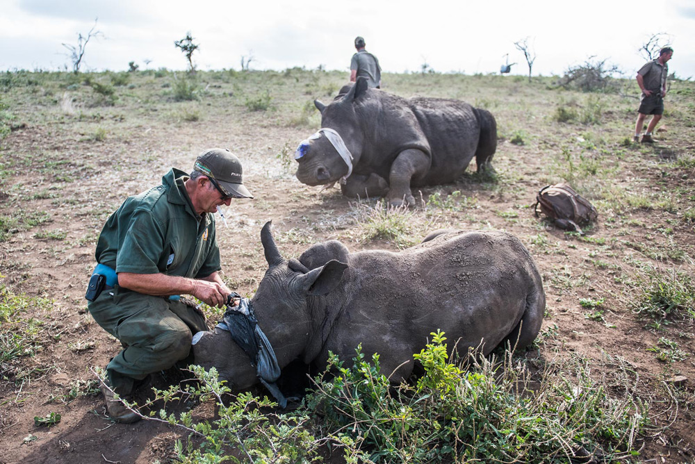 rangers-with-dehorned-rhinos-peter-chadwick