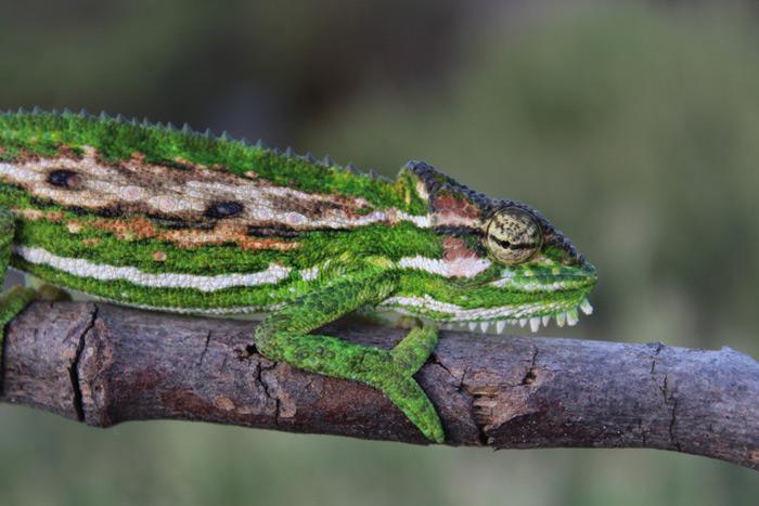 A Cape dwarf chameleon