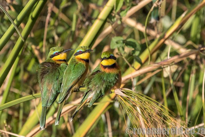 roxanne-reid-bee-eaters-okavango