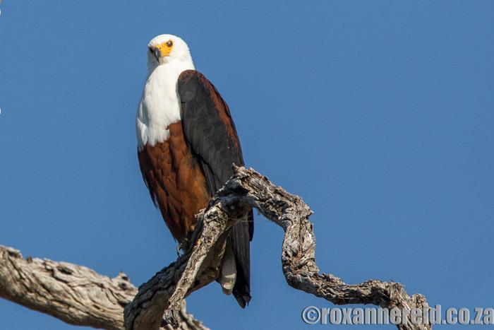 roxanne-reid-fish-eagle-okavango