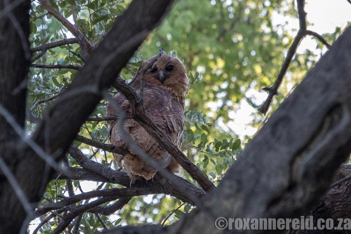 roxanne-reid-owl-okavango