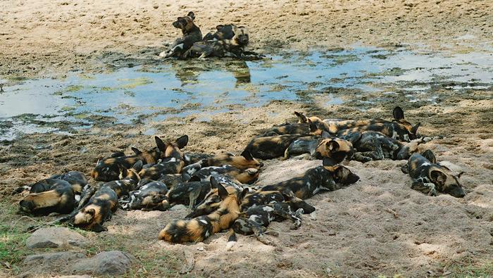 ruaha-wild-dog-pack-flo-montgomery