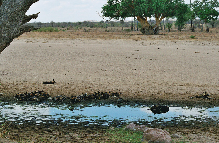 Spotting wild dogs in Ruaha National Park ©Flo Montgomery
