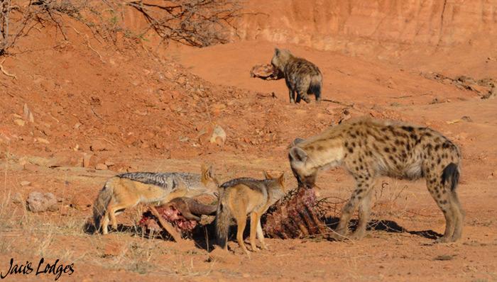 scavengers-carcass-madikwe