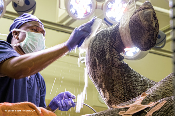 Rhinoceros knee joint being scrubbed down for surgery ©Susan Scott for STROOP