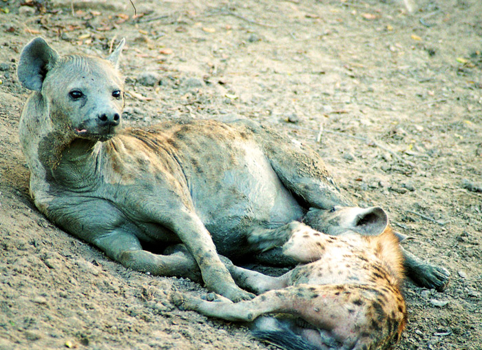 A hyena mother and baby ©Flo Montgomery