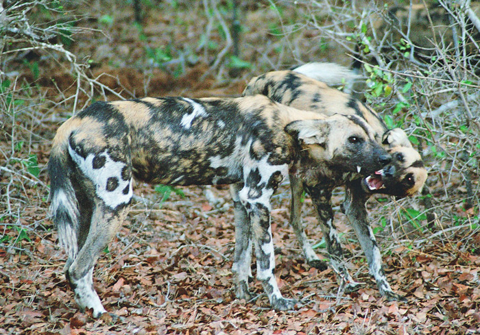 The fantastic coats of the painted wolves in Selous ©Flo Montgomery