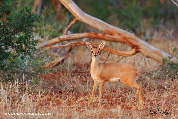 small-antelope-madikwe