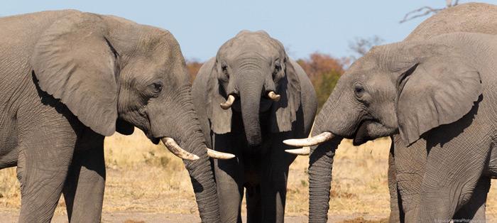 three-elephants-botswana