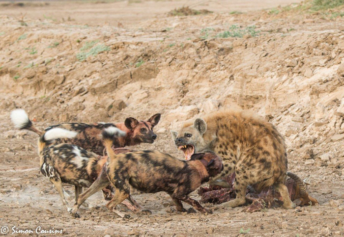 three-wild-dogs-attack-hyena