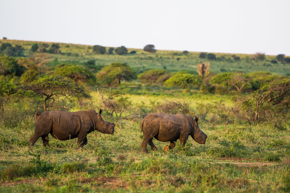 two-dehorned-rhinos-peter-chadwick