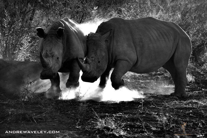 two-rhinos-madikwe