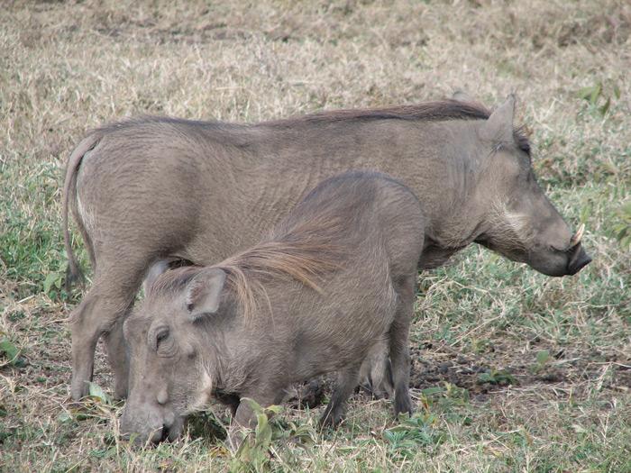 warthog-arusha