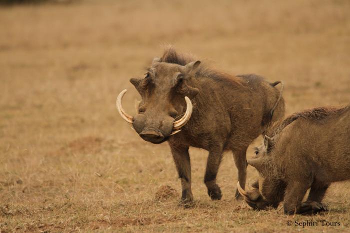 warthog-pilanesberg