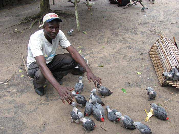 wild-caught-immature-grey-parrots-in-drc
