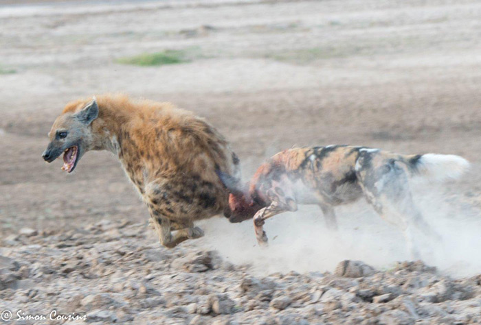 wild-dog-chases-hyena