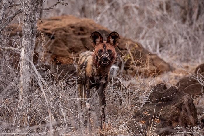 wild-dog-kruger-national-park