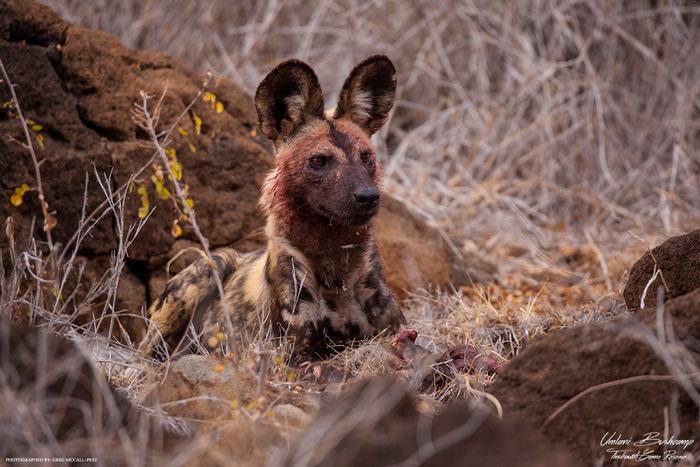 wild-dog-kruger