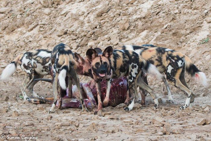 wild-dogs-kill